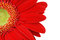 Stock Image : Close up front face of Gerbera daisy