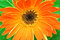Stock Image : Orange gerbera