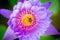 Stock Image : Close up lotus