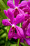 Stock Image : Close up of Purple Orchid With WaterDrop