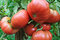 Stock Image : Close-up of ripening tomato