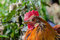 Stock Image : Close up of a rooster
