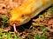 Stock Image : Closeup of Burmese python (Python bivittatus)