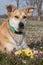 Stock Image : Closeup  Carolina dog