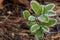 Stock Image : Closeup of a frosty lingonberry shrub