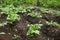 Stock Image : Closeup of organic potato plants in garden
