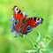 Stock Image : Closeup of Red Butterfly