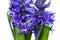 Stock Image : Hyacinths