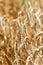 Stock Image : Closeup of  wheat ea
