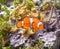 Stock Image : Clown fish