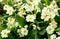Stock Image : Clump of yellow primroses