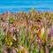 Stock Image : Coastal succulent plant
