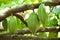 Stock Image : Cocoa pods