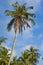 Stock Image : Coconut palm tree