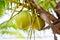 Stock Image : Coconut tree