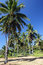 Stock Image : Coconut trees