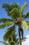 Stock Image : Coconut trees, Dominican Republic