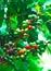 Stock Image : Coffee plant