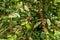 Stock Image : Coffee tree