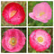 Stock Image : Collage - pink poppy