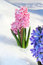 Stock Image : Colorful bouquet from hyacinth