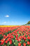 Colorful field with tulips and a blue sky