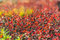 Stock Image : Colorful leaves in the fall.