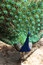 Stock Image : A colorful peacock