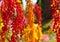 Stock Image : The colorful Quinoa tree in the farm