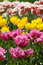 Stock Image : Colorful tulips