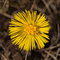 Stock Image : Coltsfoot