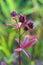 Stock Image : Comarum palustre. Herb