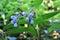 Stock Image : Comfrey is a medicinal plant