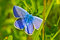Stock Image : Common blue butterfly in grass