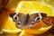 Stock Image : Common Buckeye Junonia Coenia