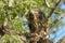 Stock Image : Common buzzard (Buteo buteo)