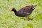 Stock Image : Common Gallinule (Gallinula galeata)