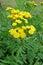 Stock Image : Common Tansy (Tanacetum vulgare)