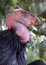 Stock Image : Condor