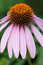 Stock Image : Coneflower