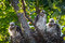 Stock Image : Cooper's Hawk Chicks