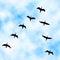 Stock Image : Cormorant flyover