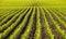 Stock Image : Corn field