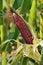 Stock Image : Corn field.