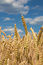 Stock Image : Corn for the harvest and the blue sky