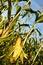 Stock Image :  corncob