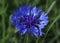 Stock Image :  cornflower