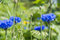 Stock Image : Cornflowers Flowers on a field in summer