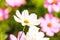 Stock Image : Cosmos flower