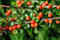 Stock Image : Cotoneaster Bush